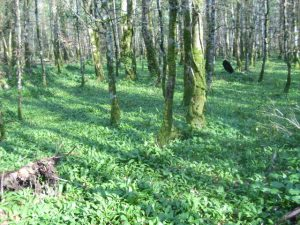 An abundance of Wild Garlic.